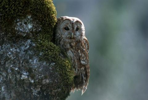 Chouette hulotte  © D. Fiat -  Parc national des Ecrins.