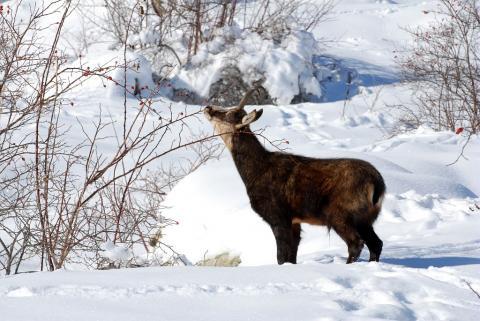 Chamois mâle en hiver © D. Fiat, PNE.