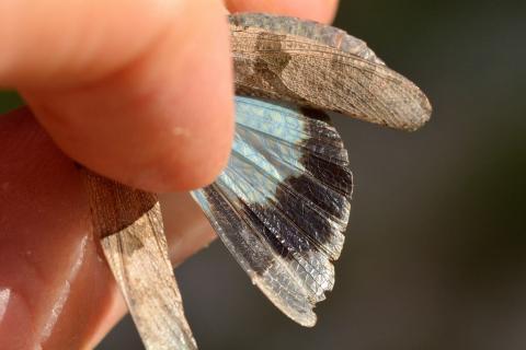 Oedipode turquoise, ailes déployées © M. Coulon, PNE.