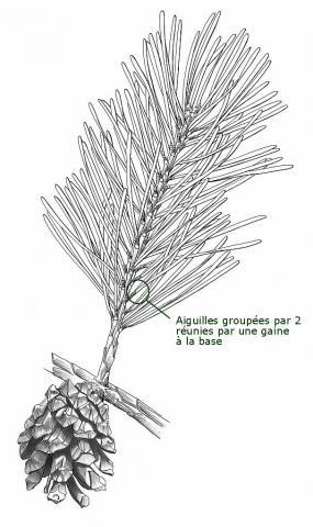 Pin sylvestre © F. Lévy, PNE.