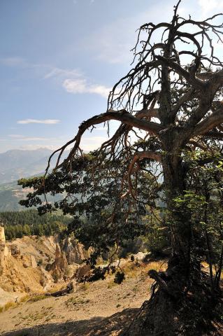 Vieux pin sylvestre © M. Coulon, PNE.