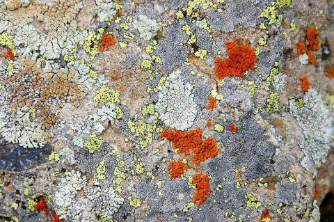 Rhizocarpon geographicum et autres lichens © D. Vincent, PNE