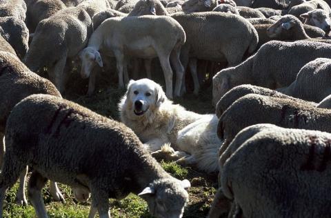 chien protection © JP-Nicollet - Parc national des Écrins