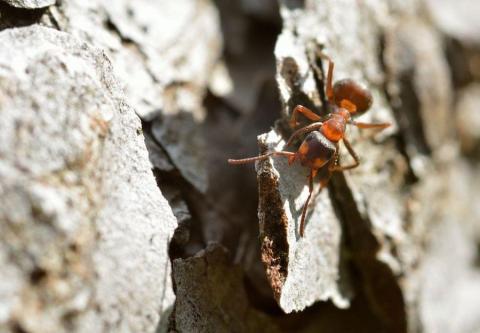 Fourmis rousse_formica rufa © MCoulon - PNE
