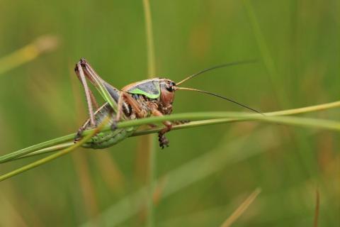 Anonconotus alpinus (Analote des Alpes) ©MarcCorail