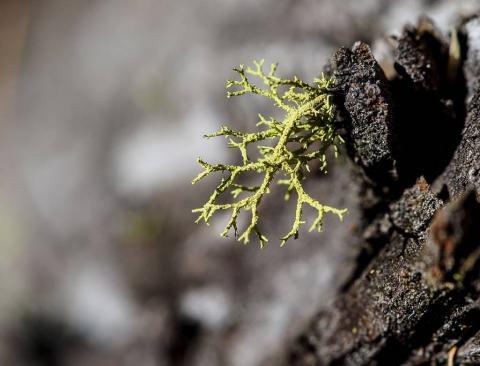 lichen ©MCoulon