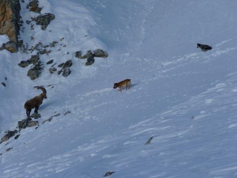 Partout, la divagation des chiens est interdite car elle dérange la faune sauvage © H.Quellier - Parc national des Ecrins