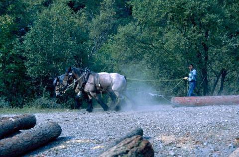 Débardage à cheval - forêt de Navette - La Chapelle en Valgaudemar © Dominique Vincent - Parc national des Ecrins
