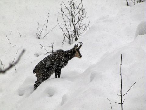 Chamois fatigué dans la neige épaisse © Christophe Albert - Parc national des Ecrins