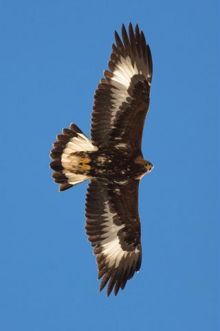 Aigle royal - 1er hiver © Pascal Saulay - Parc national des Ecrins