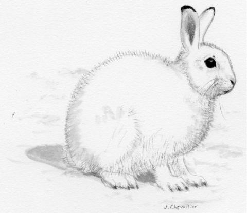 Lièvre variable - dessin Jean Chevalier - PNE -projet pédagogique Freney d'Oisans avec le Parc national des Ecrins - animaux sauvages - 2017-2018