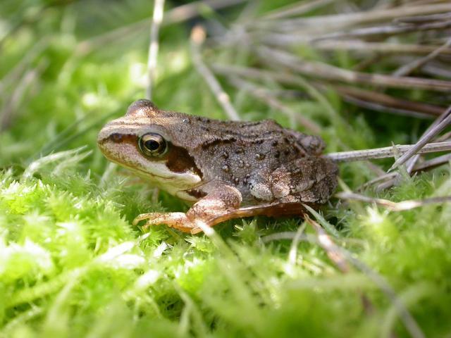 le réveil des amphibiens - © Jean Philippe Telmon - Parc national des Ecrins
