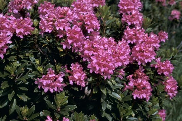 Rhododendron ferrugineux © MG Nicolas -Parc national des Ecrins