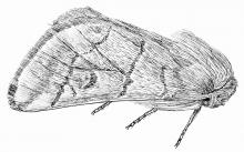 papillon de la processionnaire - dessin Olivier Grosselet - livre insectes Parc national des Ecrins