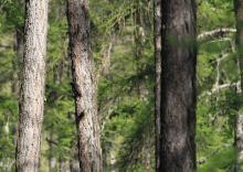 PIc noir - poste 3  -biodiversité à tous les étages © Steeve Peyron - LPO Embrun