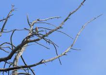 Pipit des arbres  -biodiversité à tous les étages © Steeve Peyron - LPO Embrun