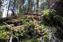 Buxbaumia viridis © M.Corail - Parc national des Écrins