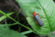 Cantharis cyanipennis - Bidoye - Champsaur - © Parc national des Ecrins