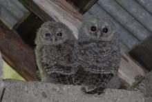 Petites hulottes  © Parc national des Ecrins