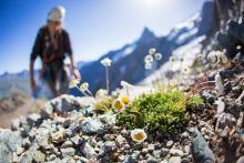 Ecologie verticale dans le massif de la Meije - marguerite des Alpes © P.Saulay - Parc national des Écrins