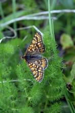 Damier de la succise - photo B.Nicolllet - Parc national des Ecrins