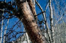 Ecorce de pin sylvestre © D. Roche, PNE.