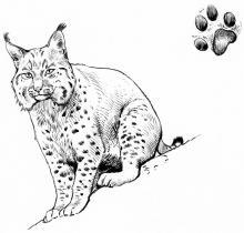 Lynx © P-E Dequest, PNE