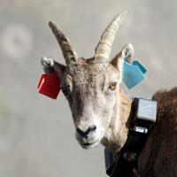 Ibex équipé GPS Ecrins © J.Arnaud - Parc national des Écrins