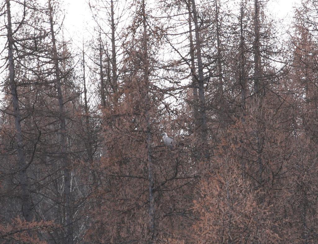 vautour fauve dans les mélèzes - dec 2014 - photo E.Dova - PNE