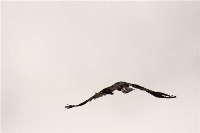 Lâché aigle royal - Oisans - déc 2014 - © Cathy Ribot
