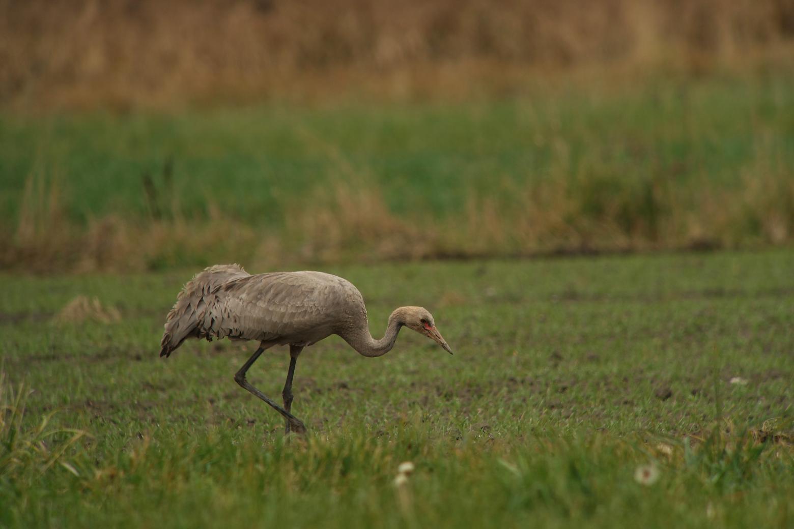 Grue cendrée © D.Combrisson - Parc national des Ecrins