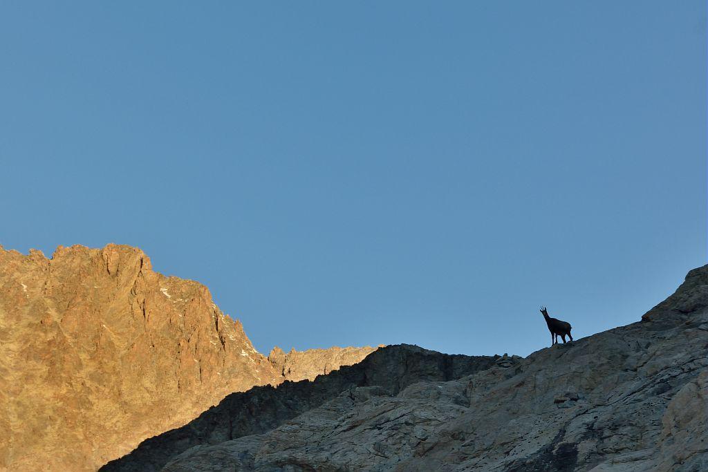 Chamois © M.Coulon - Parc national des Ecrins