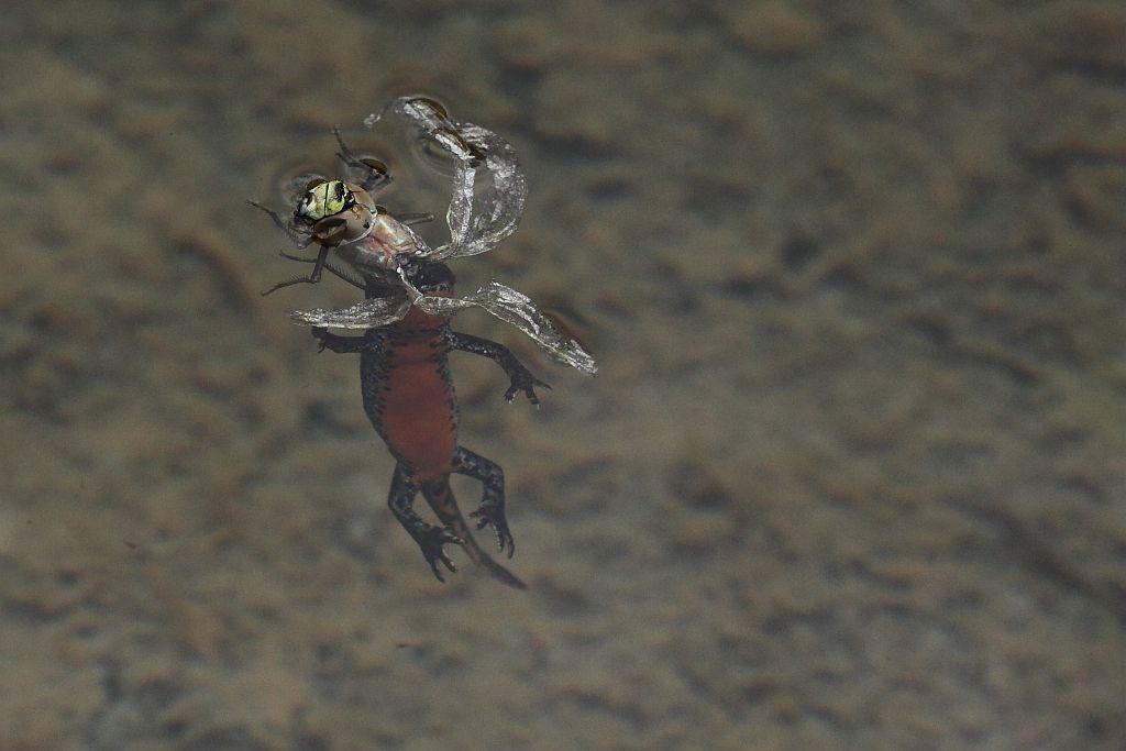 Triton avale libellule © Marc Corail - Parc national des Ecrins