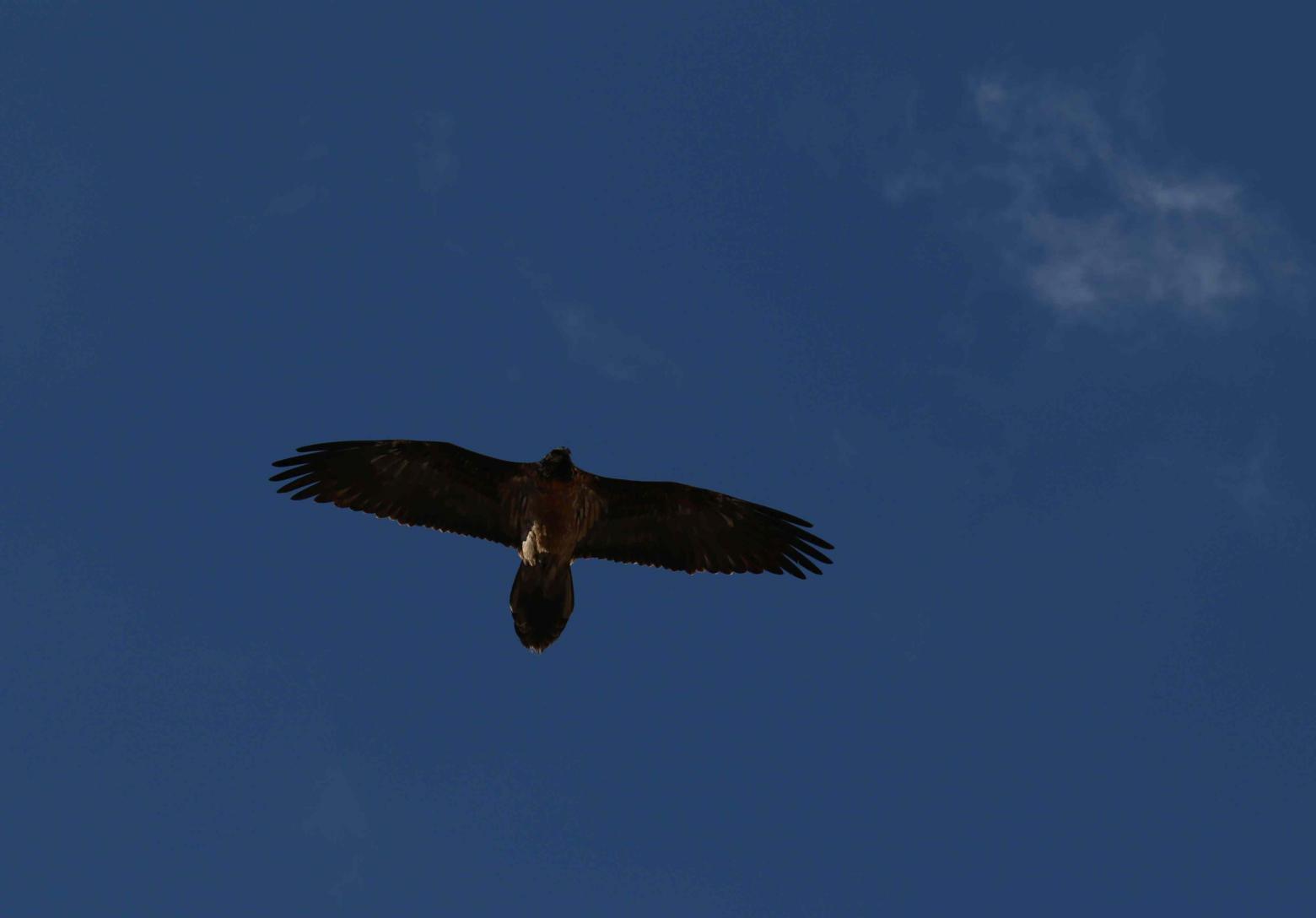 Gypaète observé dans le Briançonnais et l'Oisans - prospection internationale - Photo Parc national des Ecrins