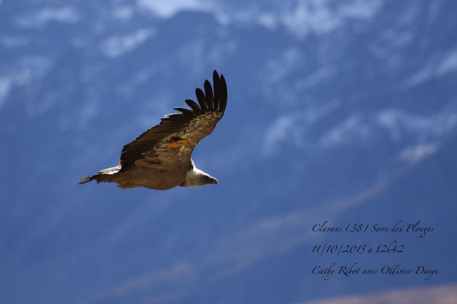 Vautour fauve - photo Cathy Ribot - prospection internationale - Parc national des Ecrins