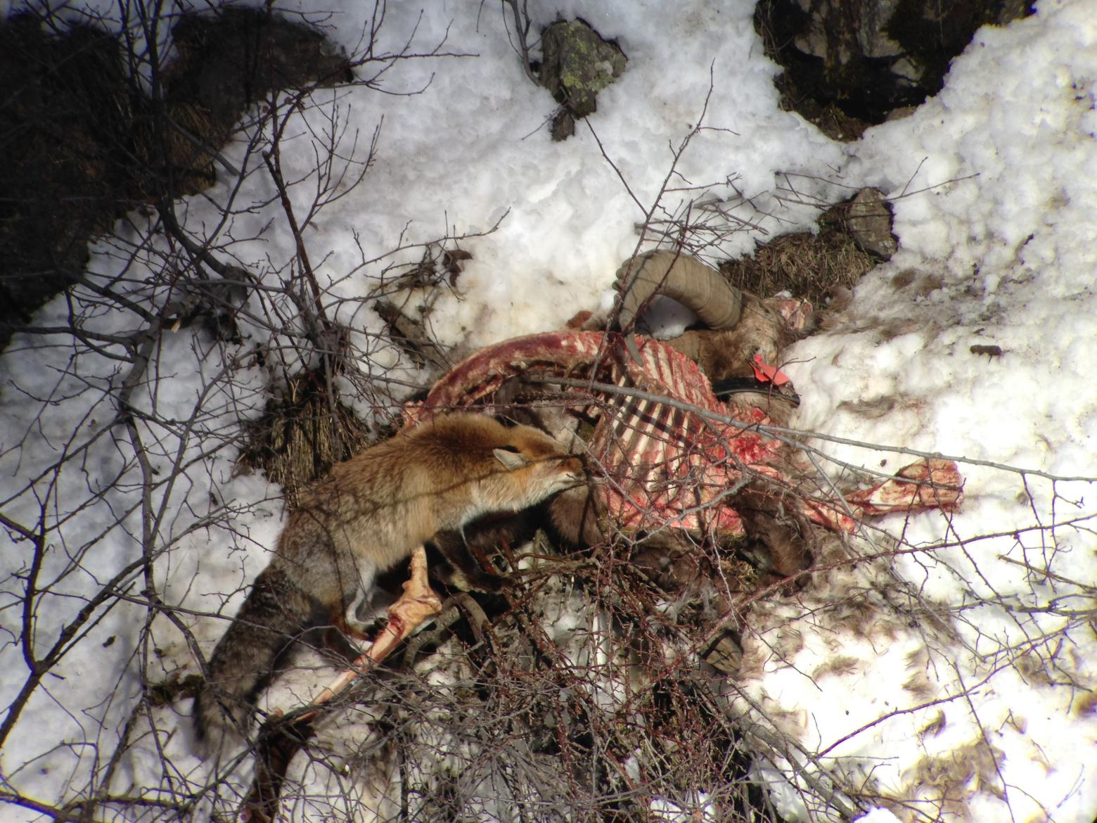 Bouqui n'a pas pu être autopsié - La chaine alimentaire continue © R.Papet - Parc national des Ecrins