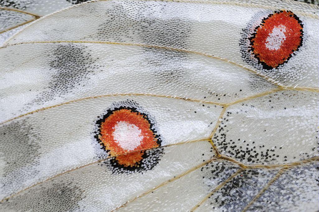 détail aile d' appolon © Mireille Coulon - Parc national des Ecrins