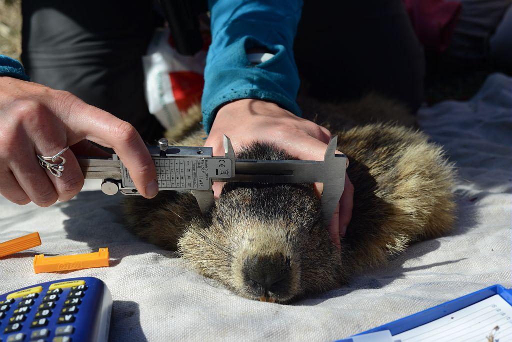 Recherche marmottes Prapic 2014 © R.Papet - Parc national des Écrins