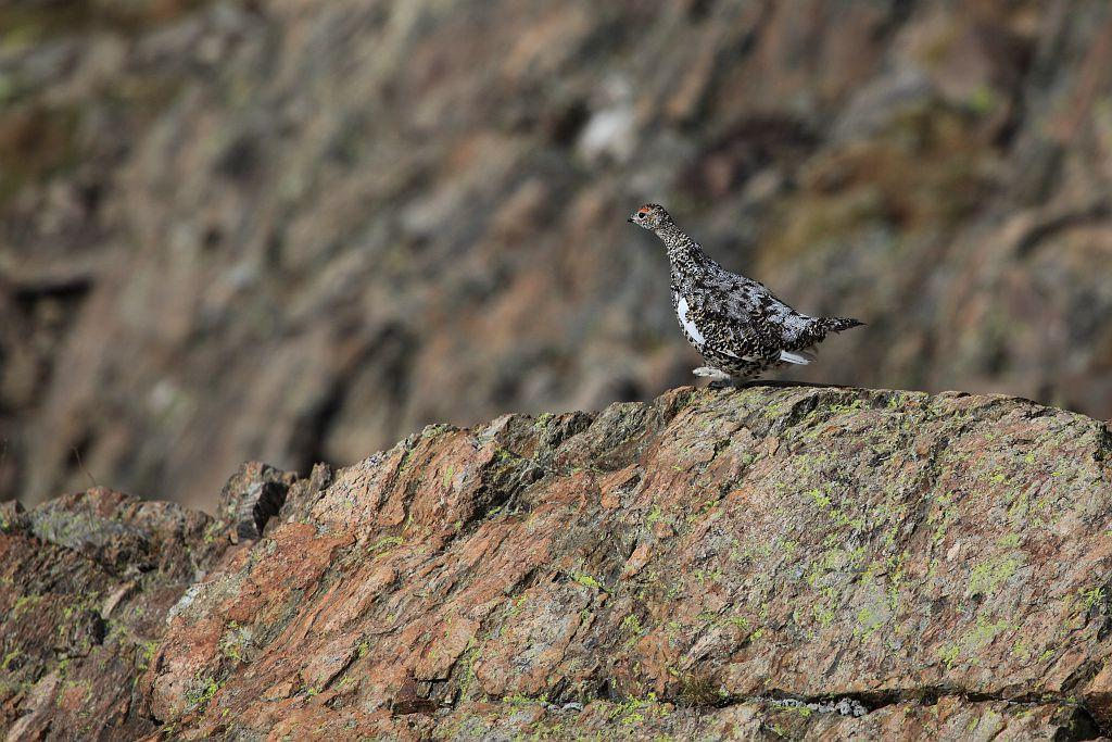 Lagopède alpin - photo Marc Corail - Parc national des Ecrins