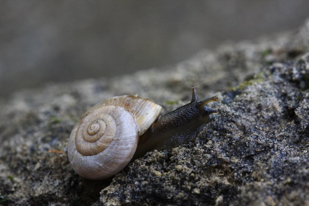 Chilostoma fontenillii alpinum  © D-Combrisson - Parc national des Écrins