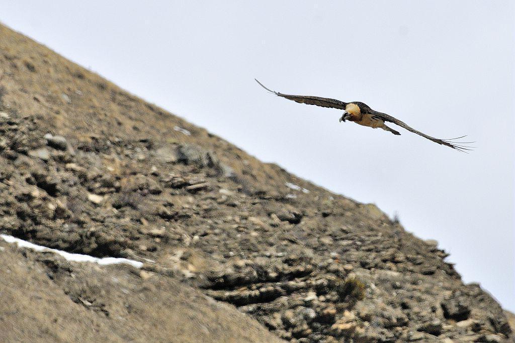 Gypaète barbu - © M.Coulon - Parc national des Ecrins