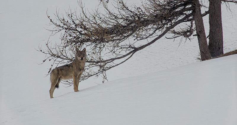 La vallée des loups, film de Jean-Michel Bertrand © B.Bodin
