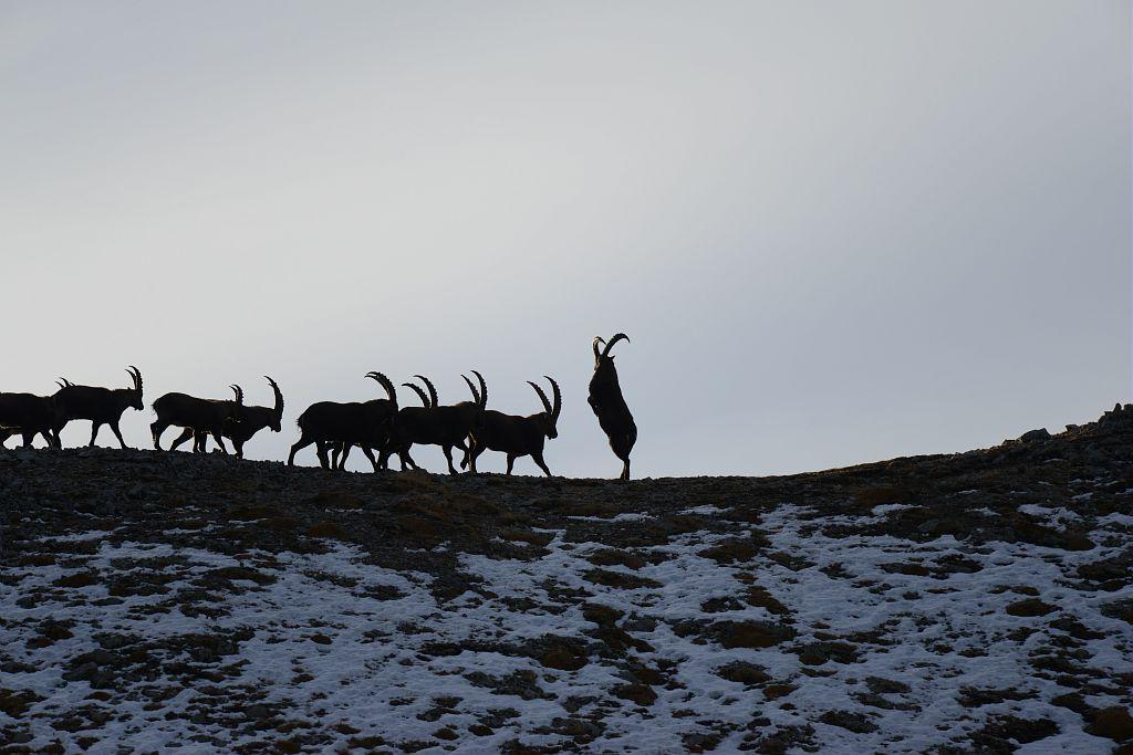 Groupe de mâles bouquetins - Rodolphe Papet © Parc national des Ecrins