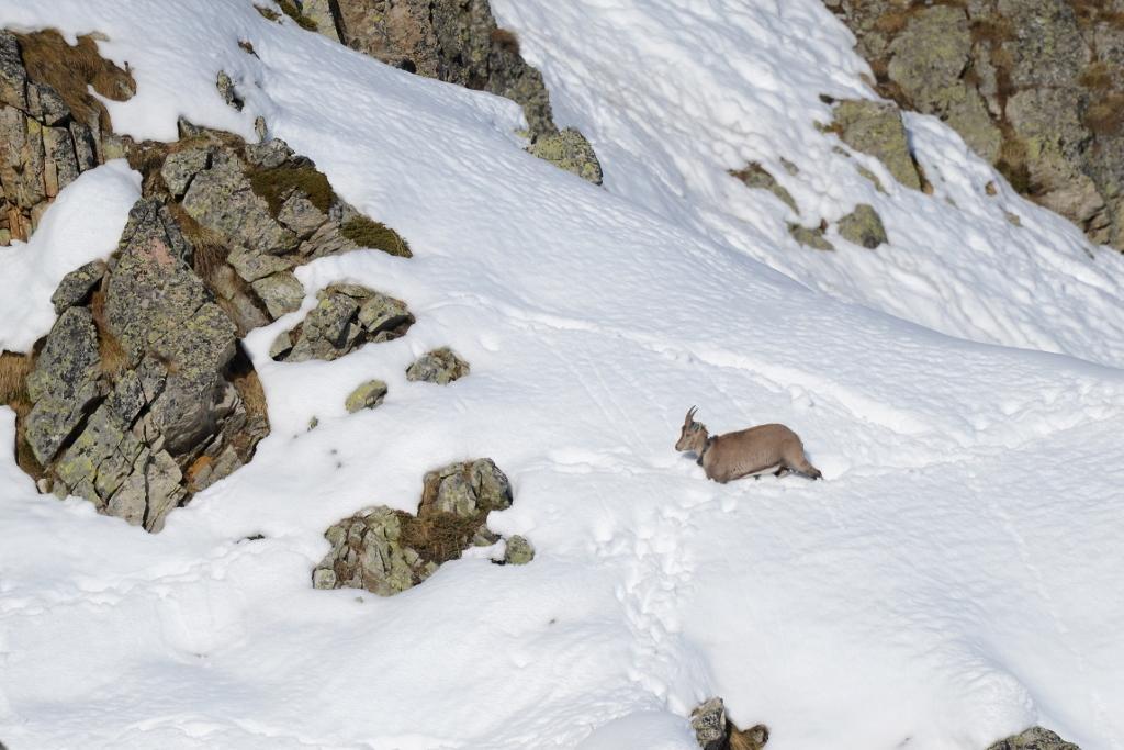Retour migration automne 2016 - ibex - © R.Papet - Parc national des Écrins