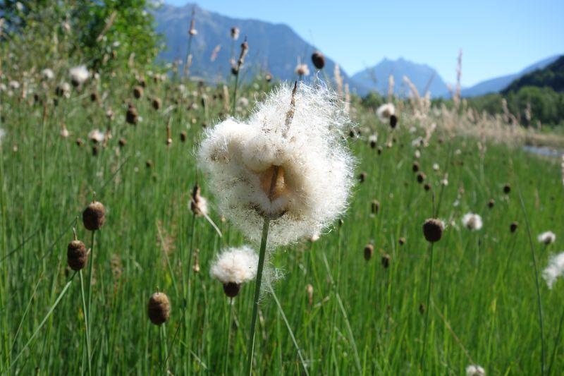 Dissémination des graines  © C.Dentant - Parc national des Ecrins