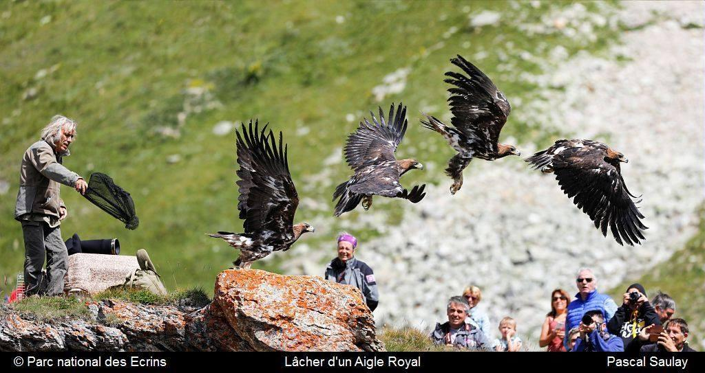 photo-montage envol aigle royal - lâcher 28 juillet 2017 - après quelques longues minutes d'attente...  @ Parc national des Ecrins - Pascal Saulay