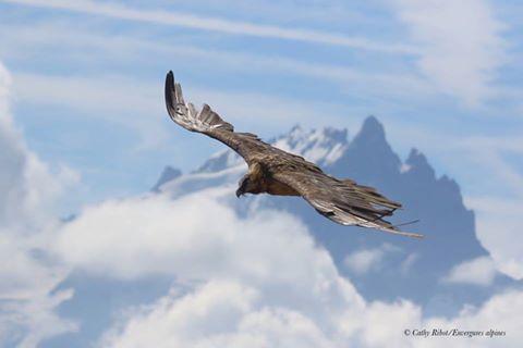 Gypaète devant la Meije - photo Cathy Ribot - Envergures alpines
