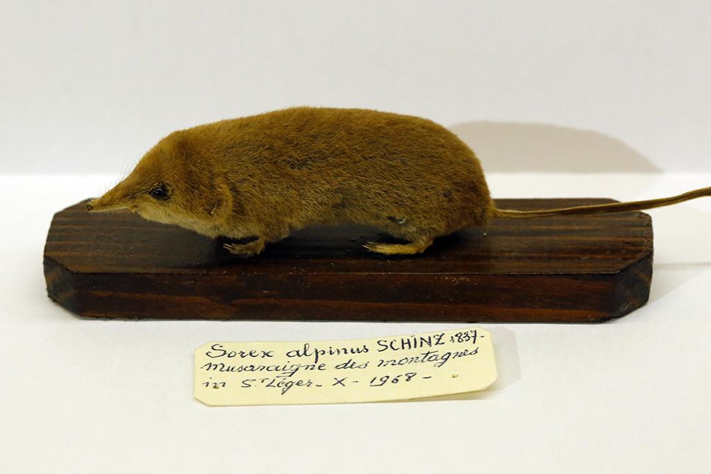 Musaraigne alpine, spécimen du Refuge des animaux à St Léger les Mélèzes - photo M.Corail - PNE