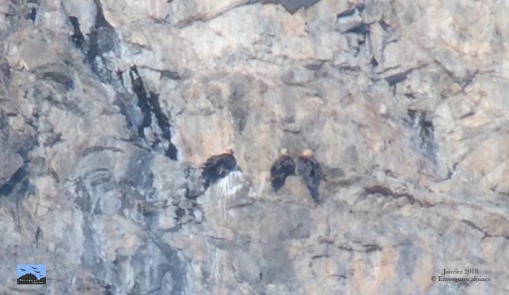 Trio gypaètes posé - janvier 2018 © Cathy Ribot - Envergures alpines
