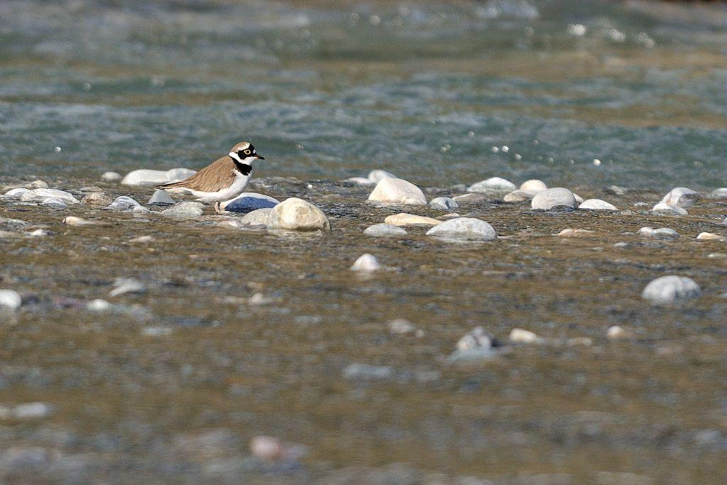 Petit gravelot bord de Durance © M.Coulon - Parc national des Écrins